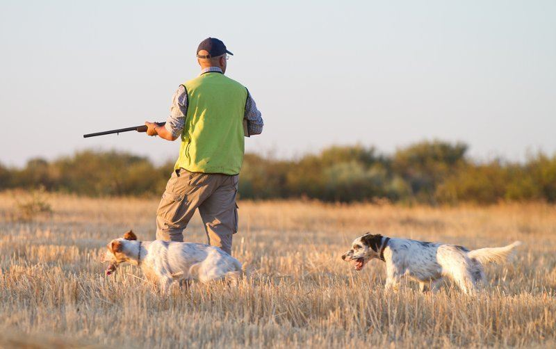 Hunter Walking In Field With Hunting Dogs