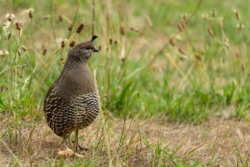 Quail in field