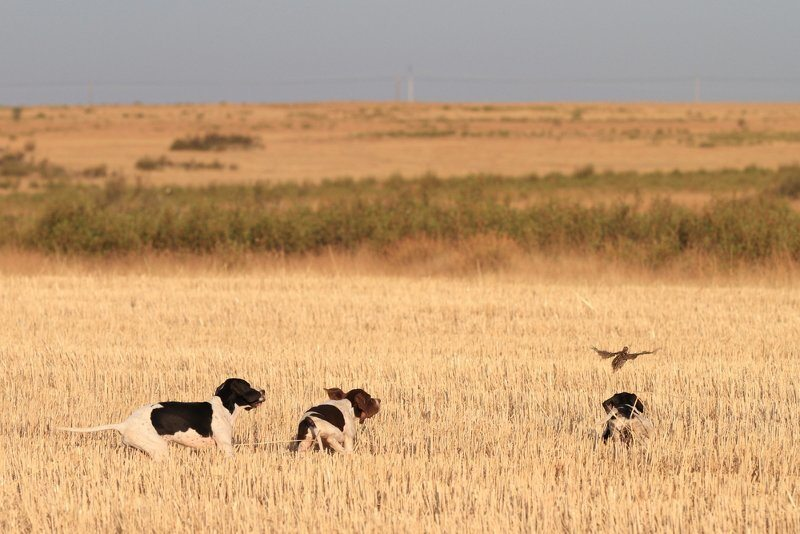 Three dogs Hunting Quail